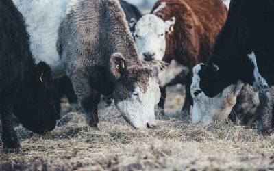 Une importation de jeunes taureaux