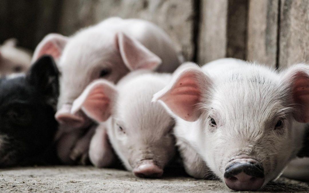reproduction porcins SCEBOG