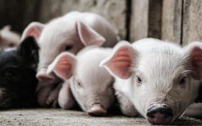 Comment réussir la reproduction en élevage porcin ?
