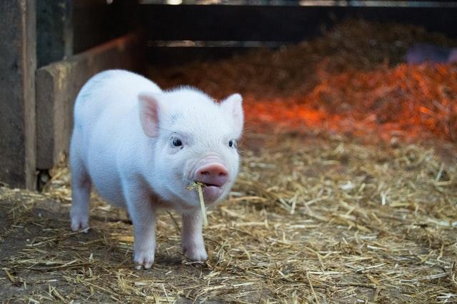 Porcinets-SCEBOG