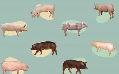 Schéma Génétique Porcine