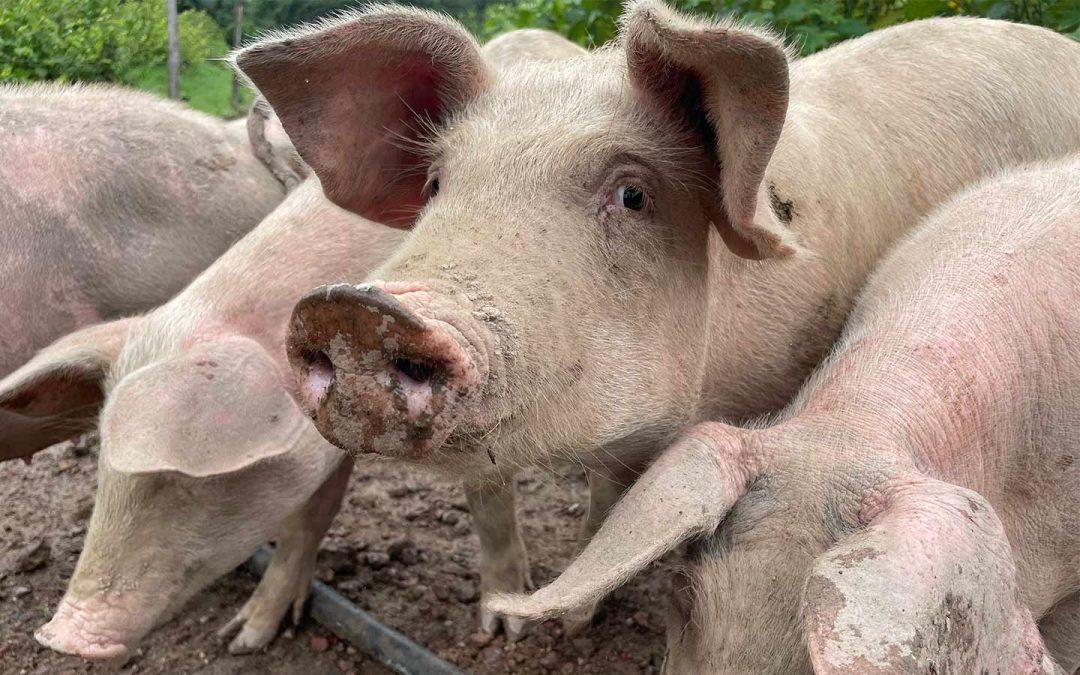 Les organisations de producteurs porcins en alerte en Guyane